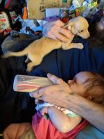 Chihuahua Puppies for sale in Hephzibah, GA 30815, USA. price: NA
