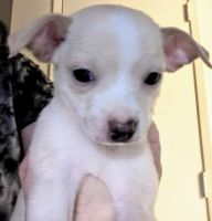 Chihuahua Puppies for sale in Tucson, AZ 85711, USA. price: NA