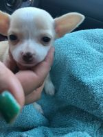 Chihuahua Puppies for sale in Worcester, MA, USA. price: NA