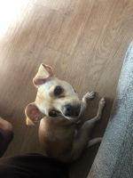 Chihuahua Puppies for sale in Chandler, AZ, USA. price: NA