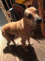 Chihuahua Puppies for sale in Stone Ridge, NY, USA. price: NA