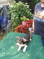 Chihuahua Puppies for sale in Gahanna, OH 43230, USA. price: NA