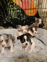 Chihuahua Puppies for sale in Jacksonville, FL, USA. price: NA
