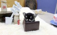 Chihuahua Puppies for sale in Chicago, IL 60602, USA. price: NA
