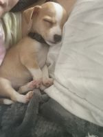 Chihuahua Puppies for sale in Clarksville, TN, USA. price: NA