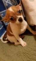Chihuahua Puppies for sale in Salt Lake City, UT, USA. price: NA