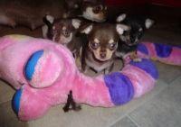 Chihuahua Puppies for sale in Miami Beach, FL, USA. price: NA