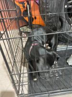 Chihuahua Puppies for sale in Tampa, FL 33619, USA. price: NA