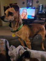 Chihuahua Puppies for sale in Boyd, TX 76023, USA. price: NA