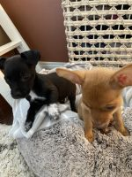 Chihuahua Puppies for sale in Scottsdale, AZ, USA. price: NA