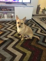 Chihuahua Puppies for sale in 743 E El Camino Real, Sunnyvale, CA 94087, USA. price: NA