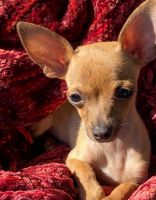 Chihuahua Puppies for sale in Munster, IN, USA. price: NA