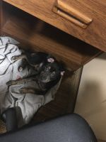 Chihuahua Puppies for sale in Montgomery, AL, USA. price: NA