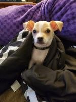 Chihuahua Puppies for sale in Monroe, MI, USA. price: NA