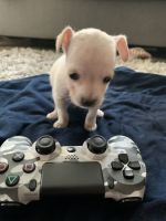 Chihuahua Puppies for sale in San Leandro, CA, USA. price: NA