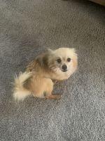 Chihuahua Puppies for sale in Hampton, VA, USA. price: NA