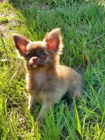 Chihuahua Puppies for sale in Lexington, SC, USA. price: NA