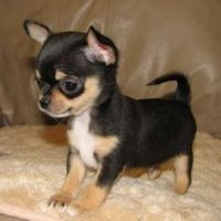 Chihuahua Puppies for sale in Paris, TN 38242, USA. price: NA