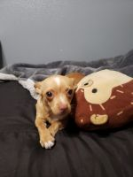 Chihuahua Puppies for sale in Bloomington, CA 92316, USA. price: NA