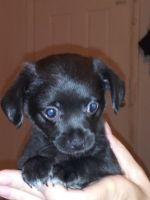 Chihuahua Puppies for sale in Ocala, FL, USA. price: NA