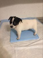 Chihuahua Puppies for sale in Port Washington, NY, USA. price: NA