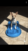 Chihuahua Puppies for sale in Gurnee, IL, USA. price: NA