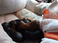 Chihuahua Puppies for sale in Birmingham, AL, USA. price: NA