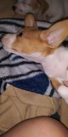 Chihuahua Puppies for sale in Calexico, CA 92231, USA. price: NA