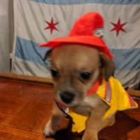 Chihuahua Puppies for sale in Chicago, IL 60617, USA. price: NA