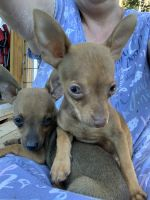Chihuahua Puppies for sale in Pikeville, NC 27863, USA. price: NA