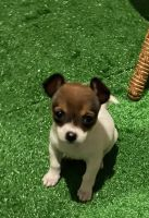 Chihuahua Puppies for sale in Gaithersburg, MD, USA. price: NA