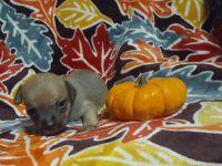 Chihuahua Puppies for sale in Campobello, SC 29322, USA. price: NA