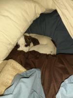 Chihuahua Puppies for sale in Norwood Young America, MN 55368, USA. price: NA