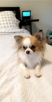 Chihuahua Puppies for sale in Greensboro, NC, USA. price: NA
