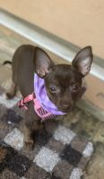 Chihuahua Puppies for sale in El Dorado, AR 71730, USA. price: NA