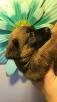 Chihuahua Puppies for sale in Greenville, TX, USA. price: NA