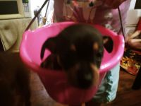 Chihuahua Puppies for sale in Kannapolis, NC, USA. price: NA