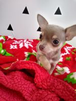 Chihuahua Puppies for sale in Louisiana, MO 63353, USA. price: NA