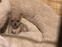 Chihuahua Puppies for sale in KY-80, Bowling Green, KY, USA. price: NA