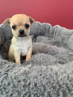 Chihuahua Puppies for sale in Washington, DC, USA. price: NA