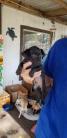 Chihuahua Puppies for sale in Humble, TX, USA. price: NA