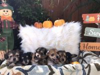 Chihuahua Puppies for sale in Arcadia, FL 34266, USA. price: NA