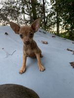Chihuahua Puppies for sale in 136 Boyette Pond Rd, Pikeville, NC 27863, USA. price: NA