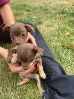 Chihuahua Puppies for sale in Denver, CO, USA. price: NA