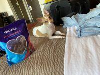 Chihuahua Puppies for sale in 7100 Dawson Blvd, Atlanta, GA 30340, USA. price: NA