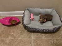 Chihuahua Puppies for sale in Temple, TX, USA. price: NA
