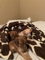 Chihuahua Puppies for sale in Los Banos, CA, USA. price: NA