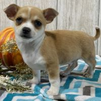 Chihuahua Puppies for sale in Las Vegas, NV, USA. price: NA
