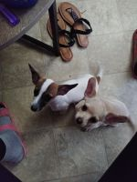 Chihuahua Puppies for sale in Fort Worth, TX, USA. price: NA