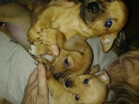 Chihuahua Puppies for sale in 347 Grove St, Woonsocket, RI 02895, USA. price: NA